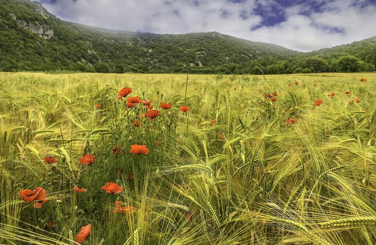 Ardeche - Poppies Dancing