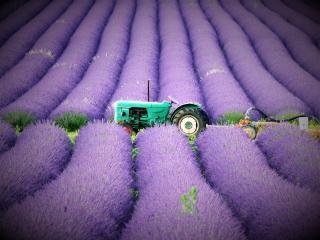 Montelimar - Tractor in Lavender Field