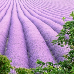 Montelimar -Lavender Field near Rauville 4 (002)